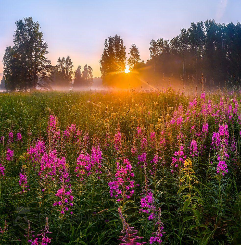 ленинградская область, сосна, иван-чай, цветы, рассвет, лето, туман, солнце, лучи, радость, луг, цветущий, парк, павловск,, Лашков Фёдор