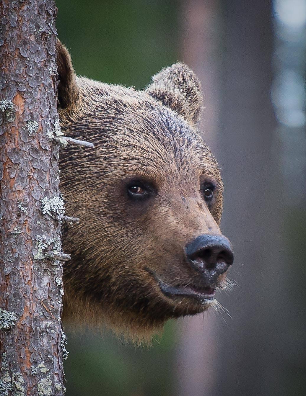 bear, finland, Jarkko Järvinen