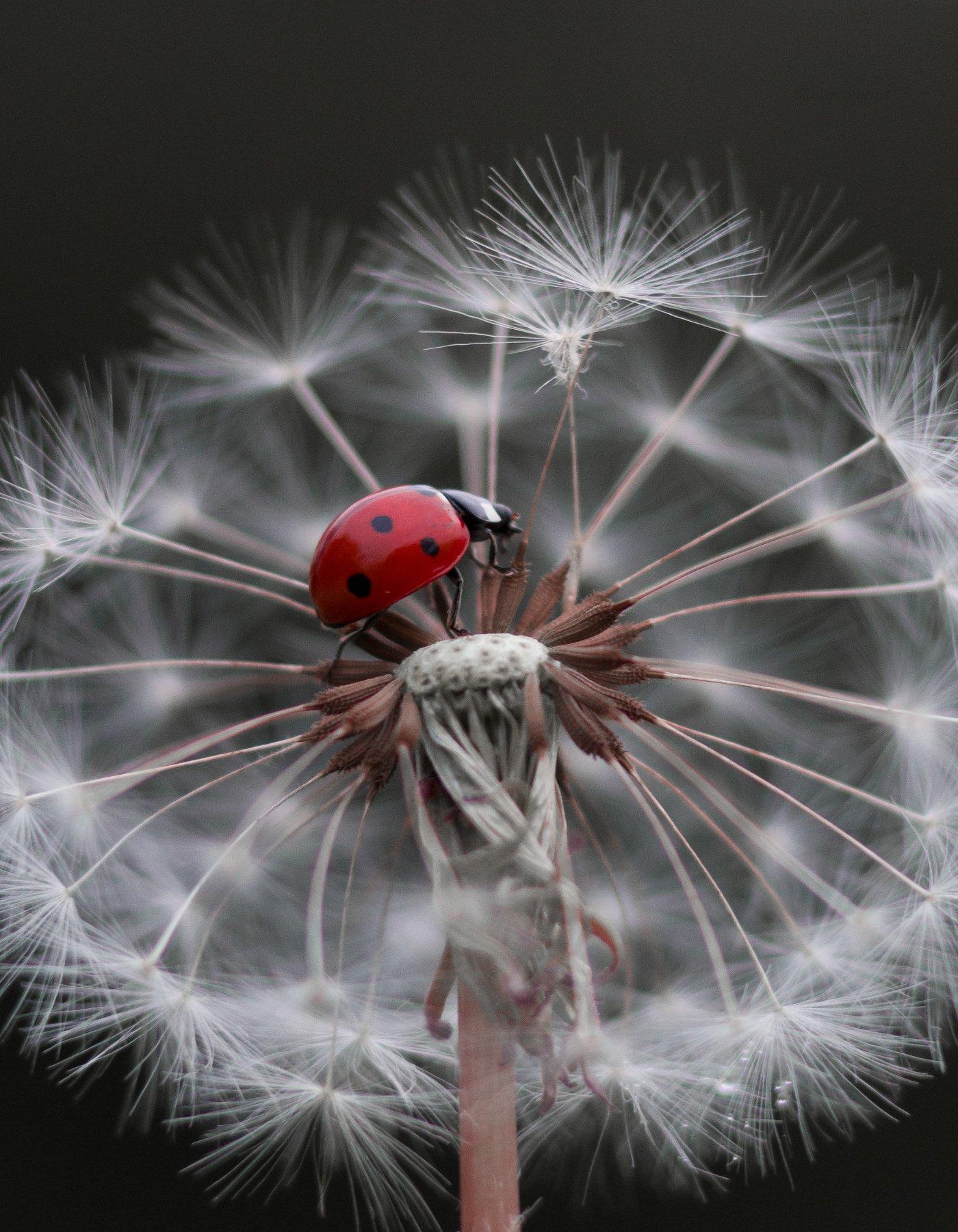 макро, природа, nature, macro, насекомые, insect, ladybug, божьякоровка, Хворостяная Юлия