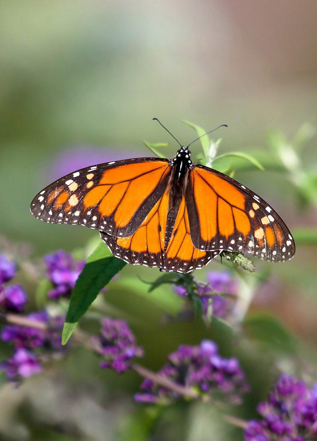 макро,бабочки,насекомые,монарх,природа,растения,цветы,листья,свет,крылья,осень,лето,, Антонина Яновска