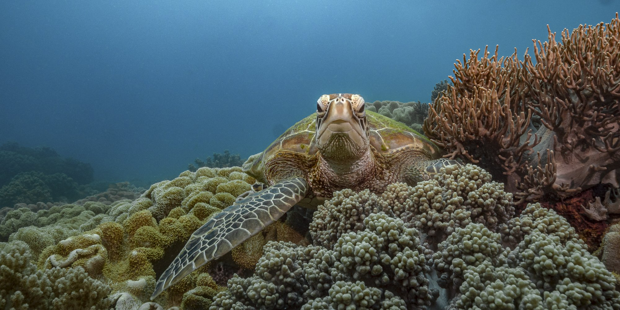 turtle, apo, underwater, diving, philippines, Савин Андрей