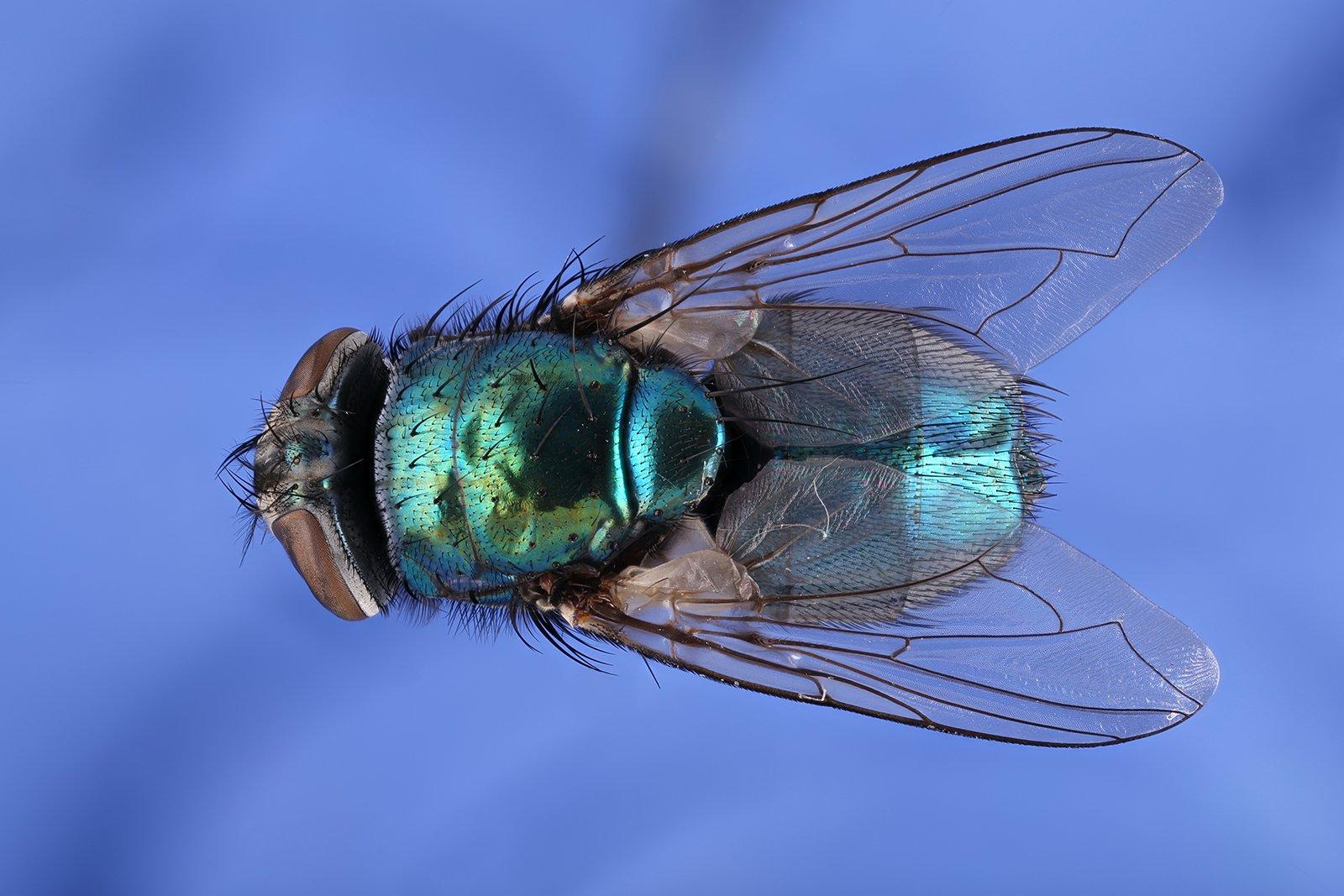 муха насекомое макро, Борис Фотомания