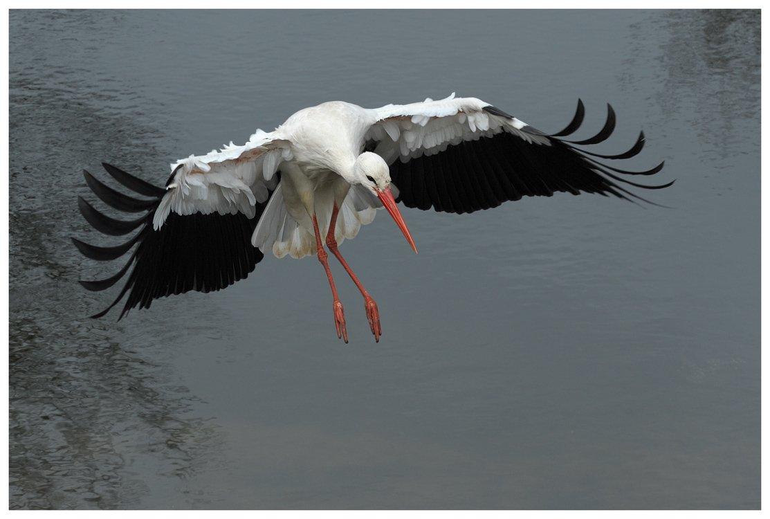 белый аист, полет, ciconia ciconia, action, flight, the netherlands, Наталья Паклина