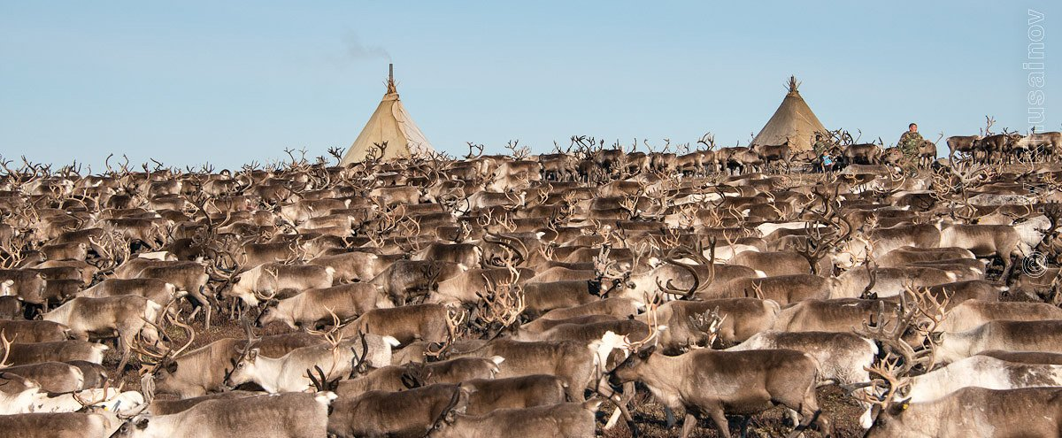 север,  путешествия,   жизнь на краю земли,   чумы,  стойбище, олени,   репортаж, den-sau-pin