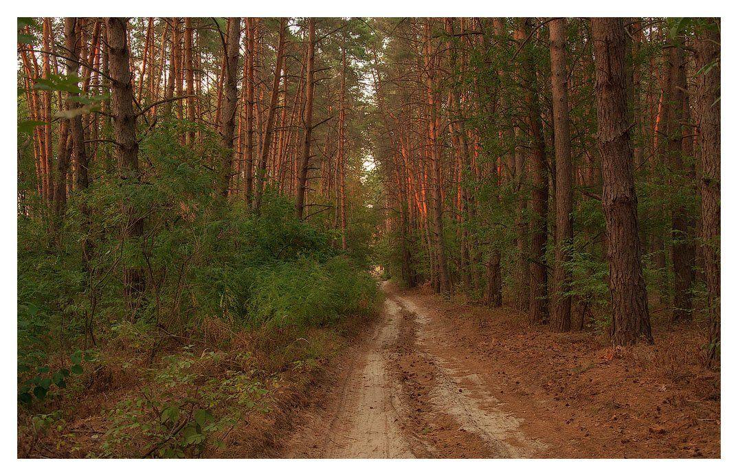 осень, лес, тропинка, сосны, Андрей Кобыща
