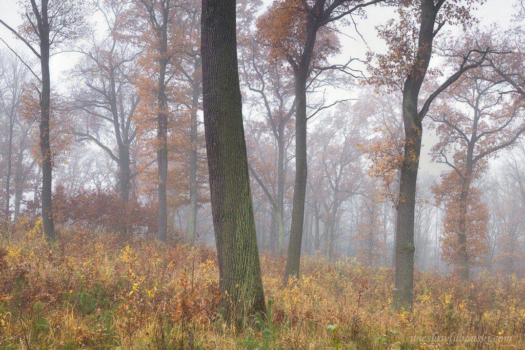 oaks, forest, lubanski, ciudat