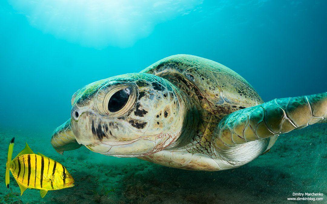 turtle,green turtle,черепаха, Дмитрий