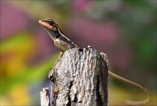 Калот-кровосос, семейство агамовые. Несмотря на страшное название - милейшая ящерица, своё название получила из-за яркой, \