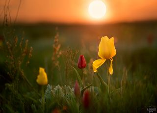 Дикие заповедные тюльпаны