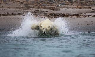 Завидев неподалеку в воде морских зайцев, белый медведь мощно ринулся на них