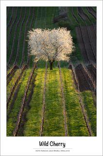 Мое любимое дерево :) Посадить бы и вырастить такое .... Южная Моравия, апрель 2018.  South Moravian, Czech Republic, April 2018.