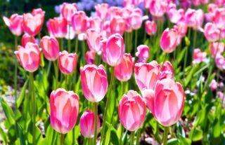 Тюльпаны розовые, на Севастопольском проспекте...