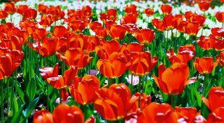 Тюльпаны розовые, около Цирка на Вернадском проспекте...