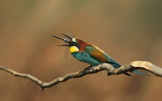 Золотистая щурка.(лат. Merops apiaster).