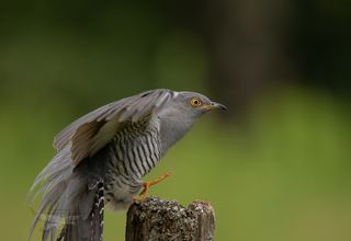 Cuckoo landing sequence , unfortunately I cut his tail.....