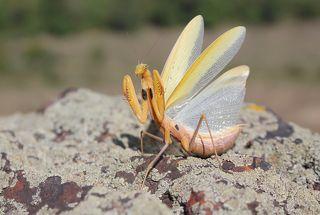 Обыкновенный богомол.(лат. Mantis religiosa)