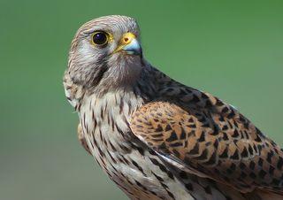 Обыкнове́нная пустельга́ (лат. Falco tinnunculus)