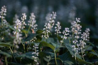 01 Майник двулистный – недооцененный, на мой взгляд, цветок весеннего  леса...