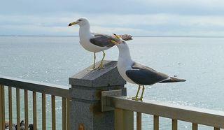 Жирные чайки