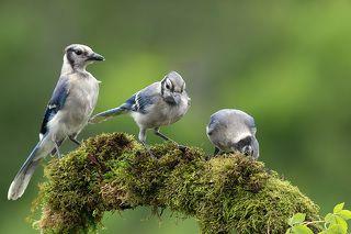 Juvenile. Blue Jay -Голубвя сойка