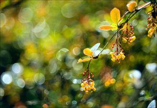 Цветы барбариса после дождя