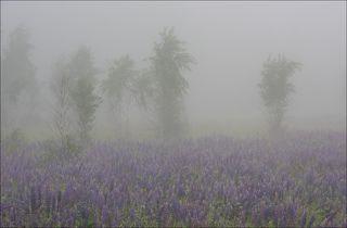 Люпины в плотном тумане