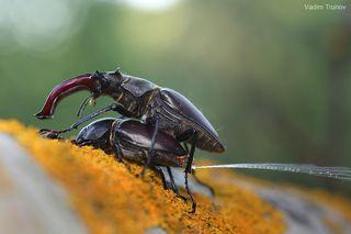 В перерывах между спариванием самка жука оленя выпускала какую-то жидкость