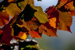 В горах листья карагача осенью становятся разноцветными. Что характерно, на равнине с этим же деревом такое не происходит