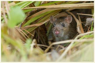 крыса в естественной среде обитания, Лосиный остров