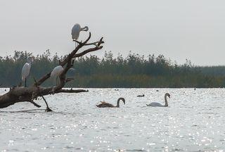 цапли с интересом наблюдают за проплывающими лебедями.