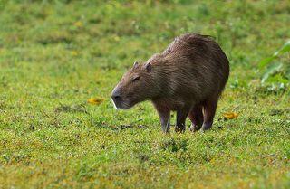 Капибара, она же водосвинка - самый крупный грызун на земле. Взрослые самки весят до 65 кг. Водится она в центральной части Южной Америки. Живет на берегах водоемов и на лесных болотах. Прекрасно плавает и значительную часть времени проводит в воде.