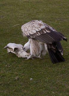 Для того что бы снять птицу за работой...пришлось в череп засунуть цыплёнка.