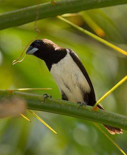 Танцы у птиц забавные: самец бочком быстро-быстро передвигается вправо-влево по стеблю, размахивая зажатой в клюве травинкой, самочка сидит поодаль и наблюдает за танцевальными па :)