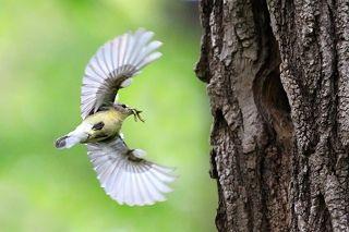 Yellow-rumped Flychatcher