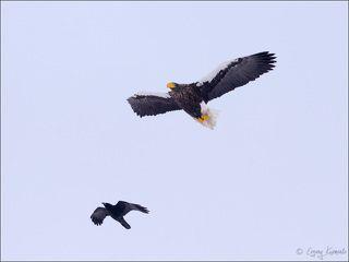 Ворона троллит белоплечего орлана