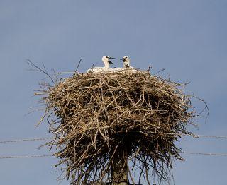 Прошло время... У пары появились птенцы - Тройня! - большая редкость для этих удивительных птиц с человеческими глазами.