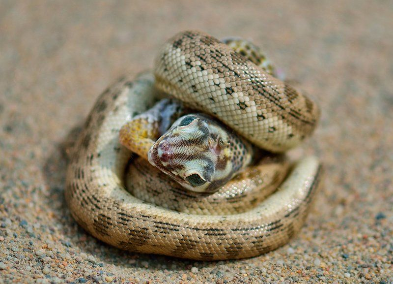 nikon, d7000, kazakhstan, казахстан, wildlife, snake, lizard, змея, ящерица, животные, фотоохота Недружеские объятияphoto preview