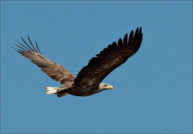 Орлан-белохвостphoto preview