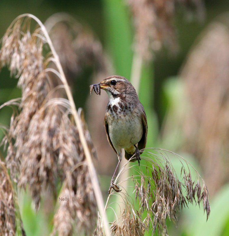 luscinia svecica, варакушка Птичка малая,да охотница удалаяphoto preview