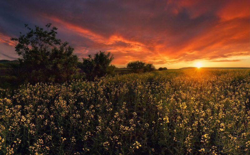 лето, закат, рапс Вечерняя РАПСодияphoto preview