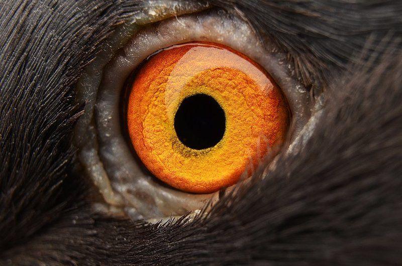 глаз, глаза, голубь, макро, оранжевый Dragon Eyephoto preview