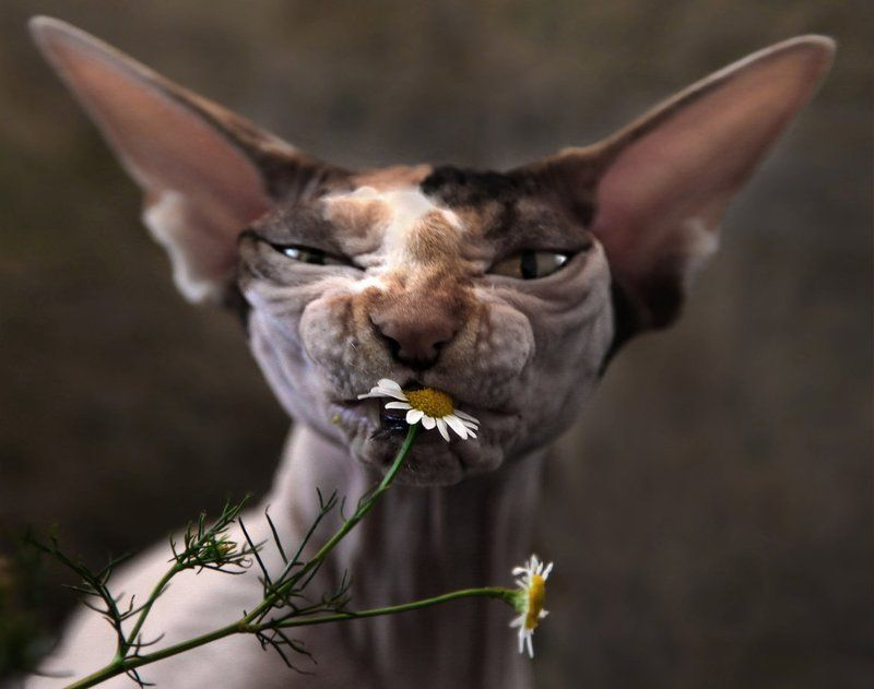 кот, кошка, ромашка, животные, цветы Ромашкиphoto preview