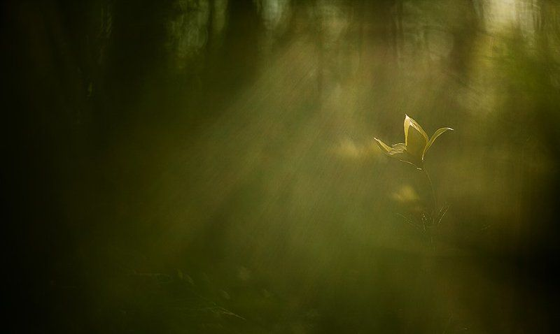 белогорье, тюльпан про волшебный тюльпановый лесphoto preview