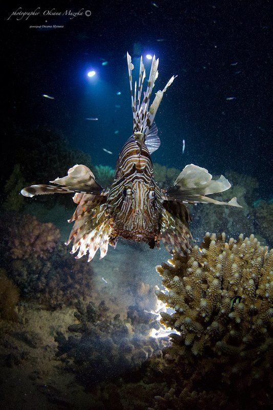 Вода, Кораллы, Красное море, Крылатка, Фонари Крылатая Крылаткаphoto preview