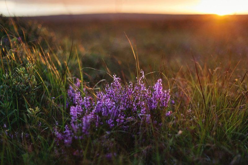 Вереск, Вечер, Закат, Ирландия, Природа photo preview