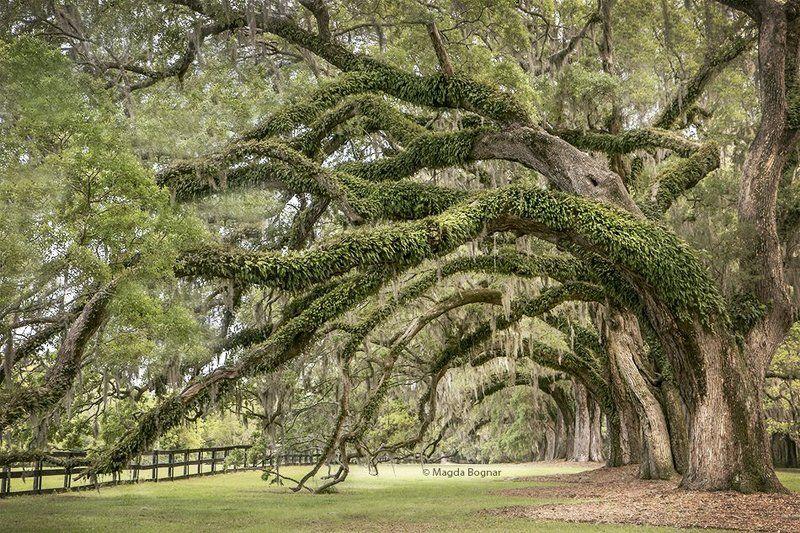 Avenue of Oaks, South Carolinaphoto preview