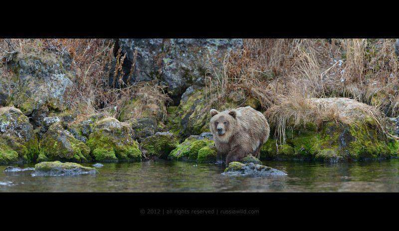 Дикая природа россии, Медведь, Медвежонок, Южно-камчатский заказник Сестрица Алёнушкаphoto preview