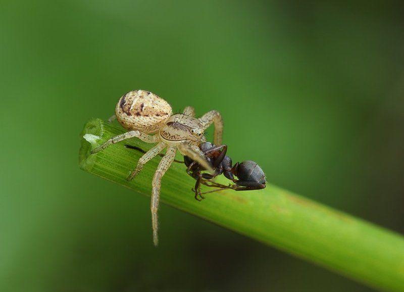 паук, бокоход ***photo preview