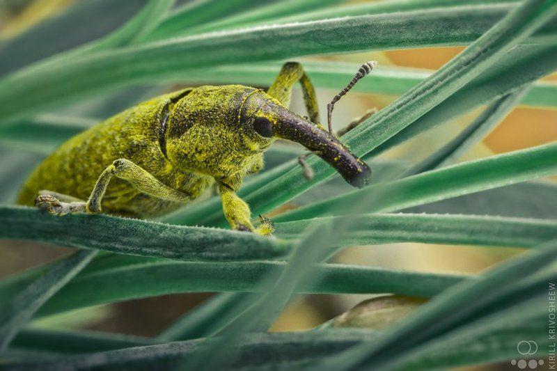 долгоносик, слоник, жук, макро, природа, насекомые ДолгоноСphoto preview
