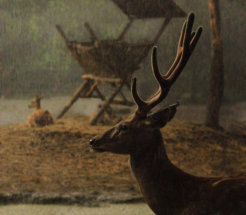 дождь, олени, животные Непогодаphoto preview